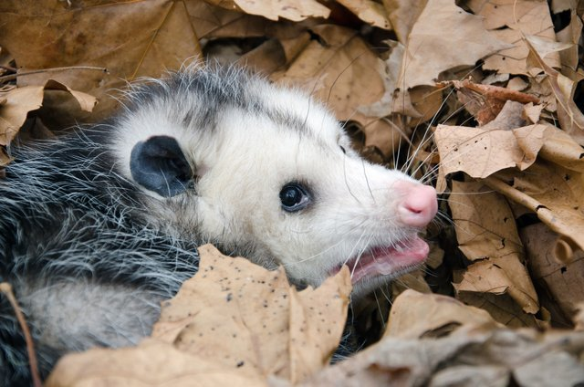 Opossum Removal and Exclusion in PA | Aaxis Wildlife Control