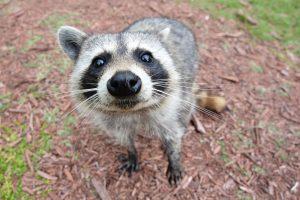 Curious_Raccoon[1]